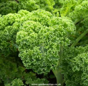 (Brassica oleracea)