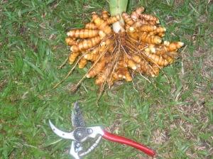 turmeric-crop1
